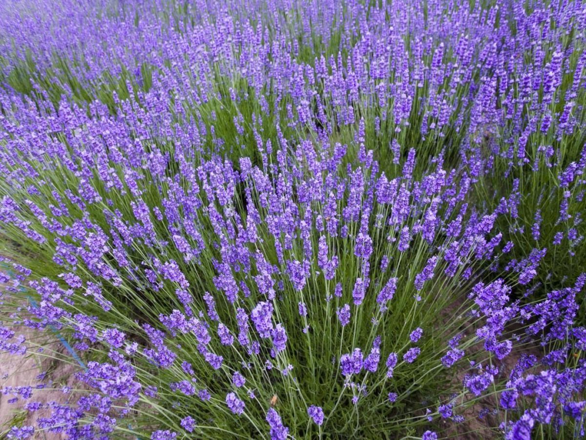 Galera de imgenes Especies principales de flores lavandas