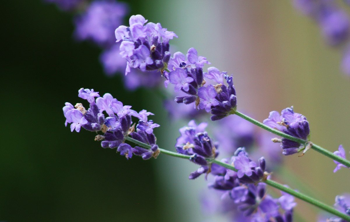 Galer a de im genes flor de lavanda for Fotos de lavanda